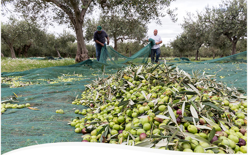 Is the Italian Olive Harvest Doomed? We think not. | Pour More