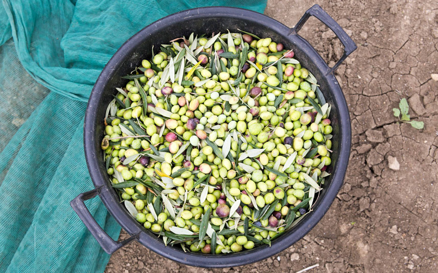 Olives and EVOO: It's the Ripe Time