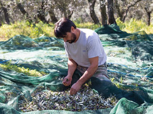 Will EVOO Yields Drive Innovation?   Pour More